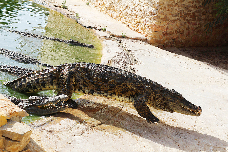 Why have crocodiles survived so long
